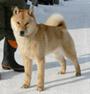 犬種 北海道犬 679