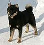 犬種 北海道犬 680