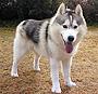 犬種 シベリアン・ハスキー 354