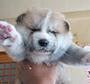 秋田犬 画像 写真  126
