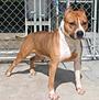 アメリカン・スタッフォードシャー・テリア 犬種の画像