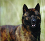 甲斐犬 画像 写真  215