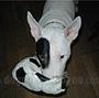 犬種 ブル・テリア 597