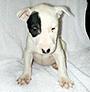 犬種 ブル・テリア 595
