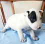 犬種 ブル・テリア 596