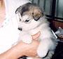 犬種 アラスカン・マラミュート 146