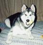 アラスカン・マラミュート 画像 写真  147