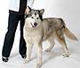 犬種 アラスカン・マラミュート 150