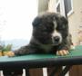 秋田犬 画像 写真  127
