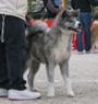 秋田犬 画像 写真  128