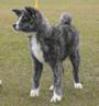 秋田犬 画像 写真  129