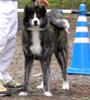 秋田犬 画像 写真  130