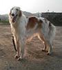 犬種 ボルゾイ 715