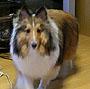 シェルティー(シェットランド・シープドッグ) 画像 写真  335