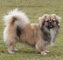 犬種 チベタン・スパニエル 420