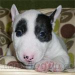ミニチュア・ブル・テリア 犬種の画像