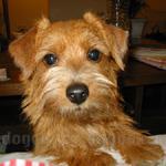 ノーフォーク・テリア 犬種の画像