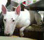犬種 ブル・テリア 598