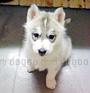 犬種 シベリアン・ハスキー 360