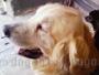 ゴールデン・レトリーバー 画像 写真  268