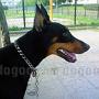 犬種 ドーベルマン 488