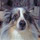 シェルティー(シェットランド・シープドッグ) 画像 写真  339