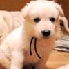 犬種 ホワイト・スイス・シェパード・ドッグ 818