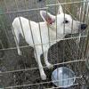 犬種 ホワイト・スイス・シェパード・ドッグ 891