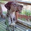 犬種 グレート・デーン 897