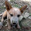 犬種 オーストラリアン・キャトル・ドッグ 1057