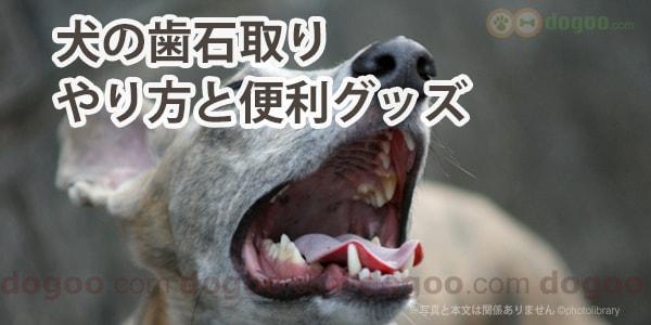 取り 犬 歯石